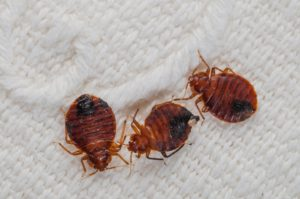 Bed Bugs Fumigation Service - Bangalore