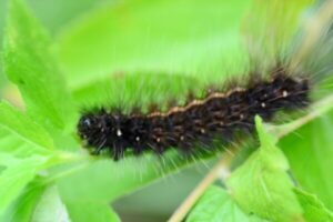 caterpillar pest control bangalore
