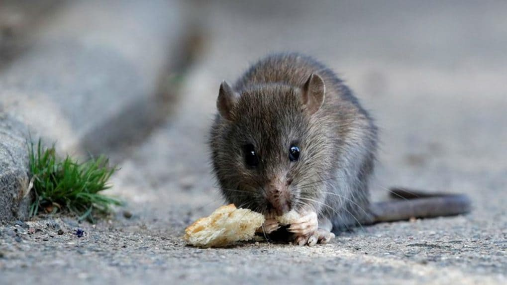 Pest Control for Rats, Rats problem, how to avoid rats at home naturally